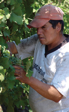Worker in a vineyard in Chile
