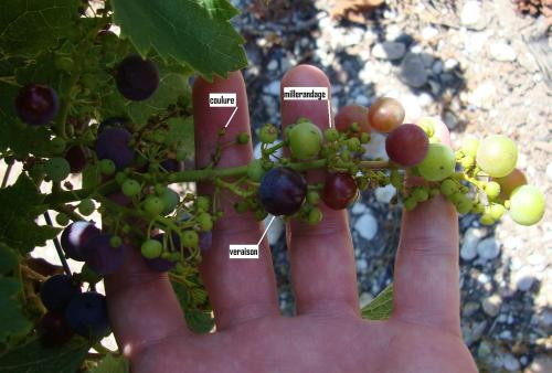 Grape cluster with veraison, millerandage, and coulure