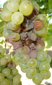Botrytis Cinerea, A.K.A. Noble Rot, on the attack!