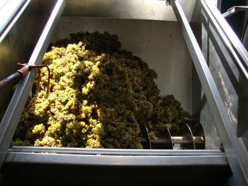 Viognier harvest